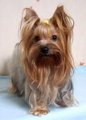 Small Yorkshire Terrier Dog — Stockfoto