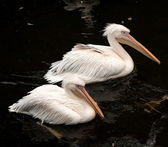Pelikans — Stock Photo