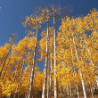 Stock Photo: Colorado Aspen