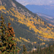 Colorado Aspen - Stock Photo