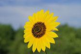 Wild Sunflower — Stock Photo