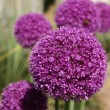 Stock Photo: Allium Gladiator