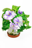 Pot with wight and violet violets — Stock Photo