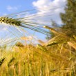 Stock Photo: AlaskWheat Field on Summer Day