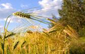 Alaska Wheat Field on a Summer Day — Stock Photo