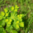 Sun spurge - Stock Photo