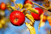 Red apples — Foto de Stock
