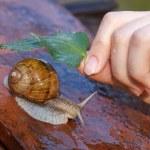 Snail in the rain — Stock Photo