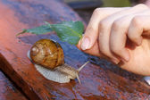 Snail in the rain — Stock Photo