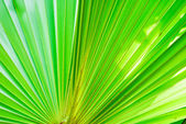 Texture of green palm leaf — Stock Photo
