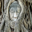 Head of Buddha in tree — Stock Photo