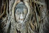Head of Buddha in tree — Stock Photo