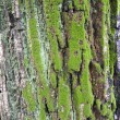Maple tree bark — Stock Photo #4049285