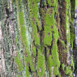 Maple tree bark — Stock Photo