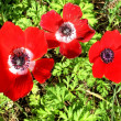 Stock Photo: Shoham Crown Anemone 2007