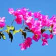 Or YehudPink Bougainvilli2010 — Stock Photo #4037721