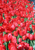 Ottawa Red tulips 2008 — Stock Photo