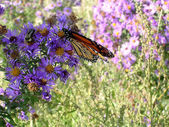 Toronto Lake Butterfly & Aster 2005 — Stock Photo