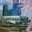 Tysons Corner Pink Cherry Blossoms 2010 — Stock Photo #4094541