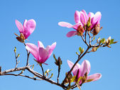 Tysons Corner Magnolia Blossoms 2010 — Stock Photo