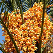 Or Yehuda Yellow Date Palm 2010 — Stock Photo