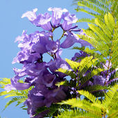 Or Yehuda Jacaranda flower 2010 — Stock Photo