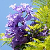 Or Yehuda Jacaranda flower 2010 — Stock Photo
