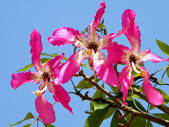 Or Yehuda Chorisia speciosa flower 2010 — Stock Photo