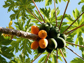 Or Yehuda Papaya 2010 — Stock Photo