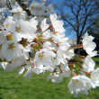 Royalty-Free Stock Photo: Washington branch of Cherry Blossoms 2010
