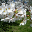 Royalty-Free Stock Photo: Washington branch of the Cherry Blossoms 2010