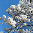 Washington Cherry Blossoms balls 2010 — 图库照片