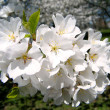 Washington Cherry Blossoms branch 2010 — Stockfoto