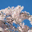 Washington Cherry Blossoms branchs 2010 — Stock fotografie
