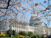 Washington Cherry Blossoms near Capitol Building 2010 — Stock Photo
