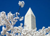 Washington Cherry Blossoms near Washington Monument 2010 — Stock Photo