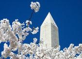 Washington Cherry Blossoms near Washington Monument 2010 — Stock Photo