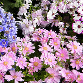 Washington Pink and other Daisies 2010 — Stock Photo