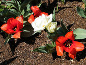 Washington tulips and peonies 2010 — Stock Photo