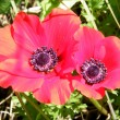 Shoham Two Crown Anemones 2011 — Stock Photo