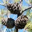 Shoham Three Fir cones 2011 - ストック写真