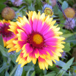 Ramat Gan Wolfson Park Gazania flower 2011 - Stock Photo