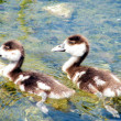 Ramat Gan Wolfson Park Goslings 2011 - Stock Photo