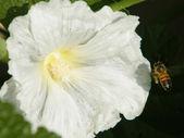 Neve Monosson Bee on Hollyhock 2011 — Stock Photo
