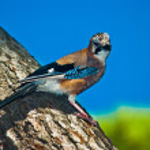 Close up of a bird sitting on pine tree bark — Stock Photo #4088149