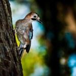 Close up of a bird sitting on pine tree bark (Punta Ala/Tuscany/ — Stock Photo #4088178