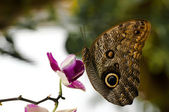 Caligo butterfly resting on a orchid white and purple backlit s — Stock Photo
