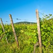 vineyard — Stock Photo #3953879