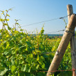 Vineyard — Stock Photo #3953940