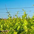 vineyard — Stock Photo #3953970